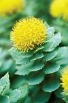 Planta Rhodiola Rosea